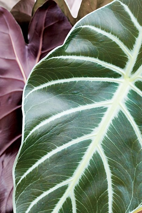 How To Grow Elephant Ears Care Tips For Elephant Ear Plants