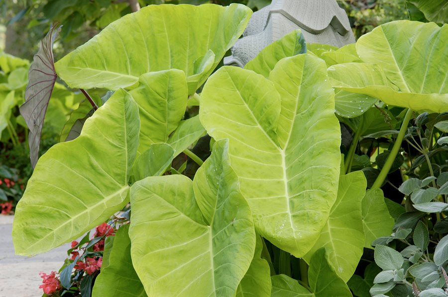how to grow elephant ears care tips for elephant ear plants garden design. Black Bedroom Furniture Sets. Home Design Ideas