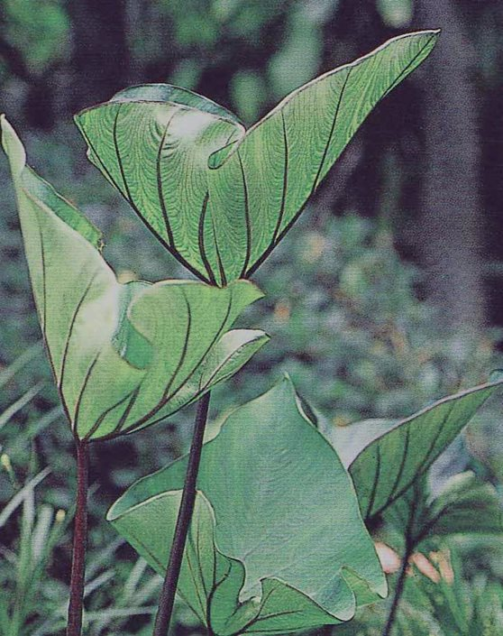 Colocasia Coffee Cups Photo By Proven Winners