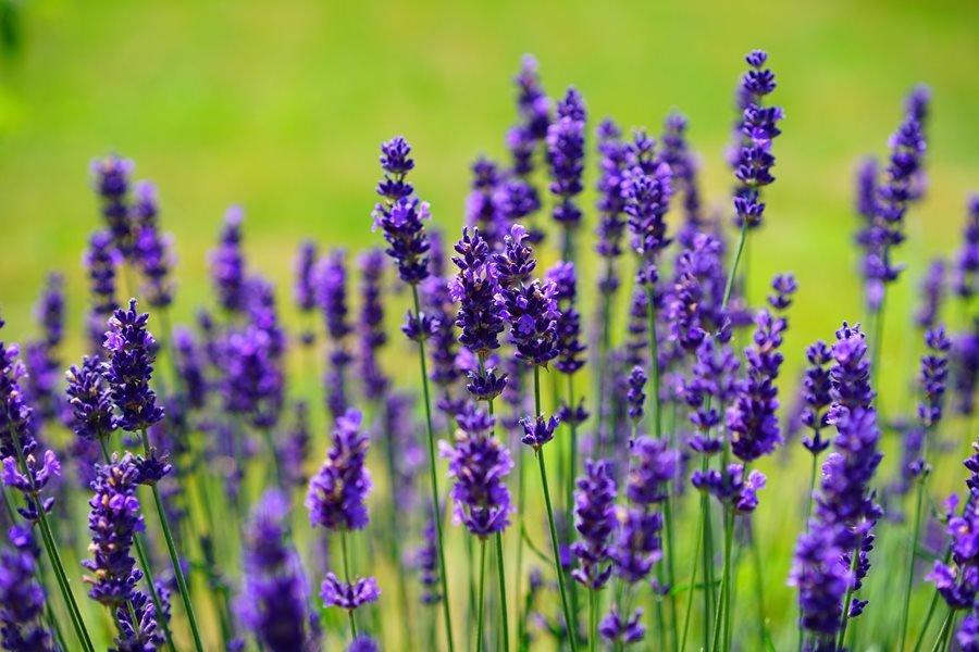 Growing Lavender, Planting & Caring - Buy Lavender Plants | Garden Design