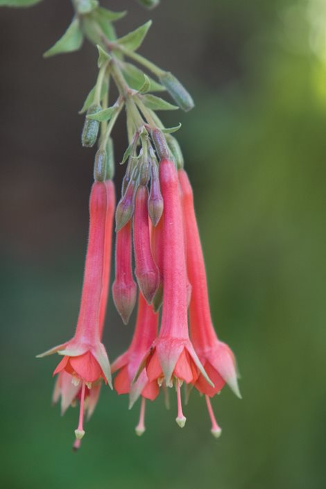 7 Species Fuchsia Flowers To Grow Garden Design