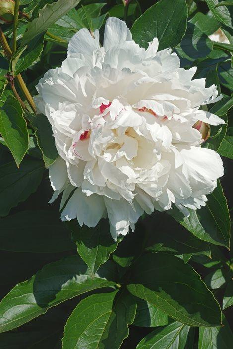 Growing peonies how to plant care for peony flowers garden design festiva maxima white peony shutterstock new york ny mightylinksfo
