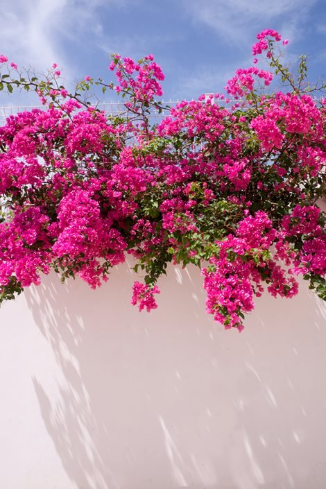 Growing Bougainvillea– Bougainvillea Care Tips | Garden Design
