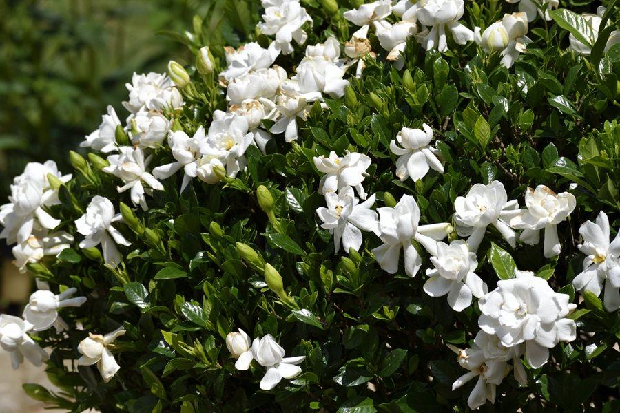Growing Gardenias How To Care For Gardenia Plants