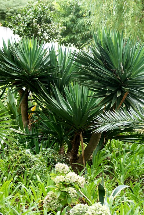 How to Grow and Care for Yucca Plants