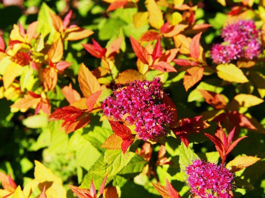 Spirea How To Grow And Care For Spirea Bushes Garden Design