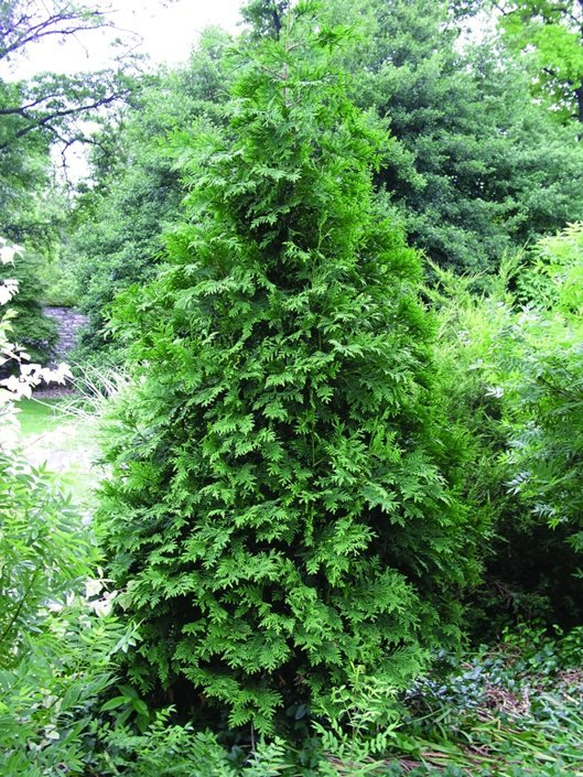 arborvitae tree types care garden design
