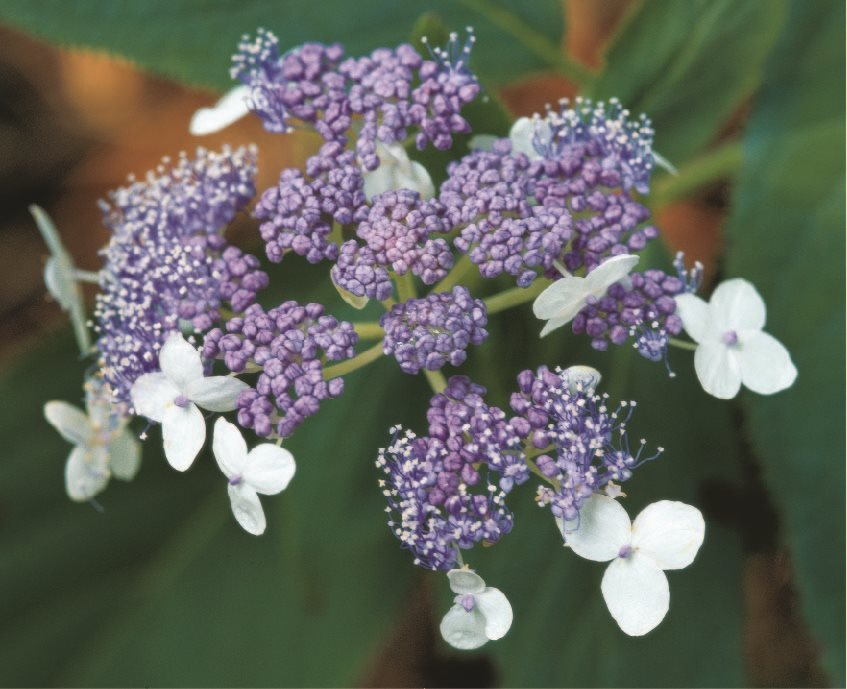 hydrangea flower basics how to grow  care for hydrangeas, Beautiful flower