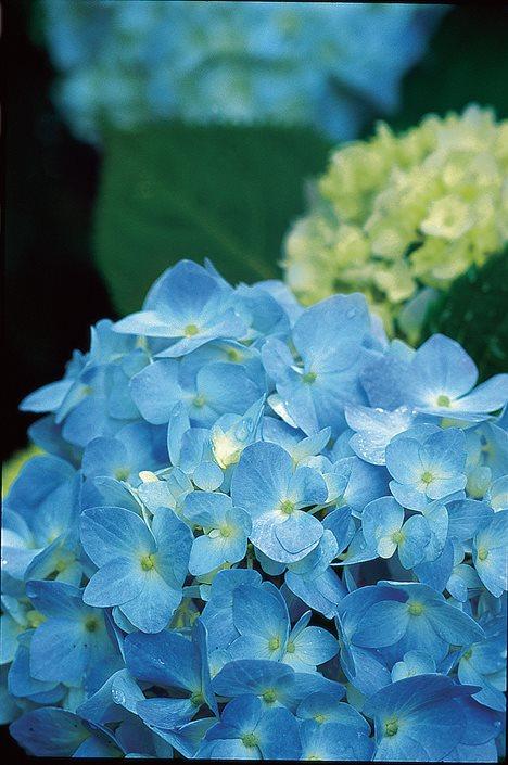 Hydrangea macrophylla endless summer
