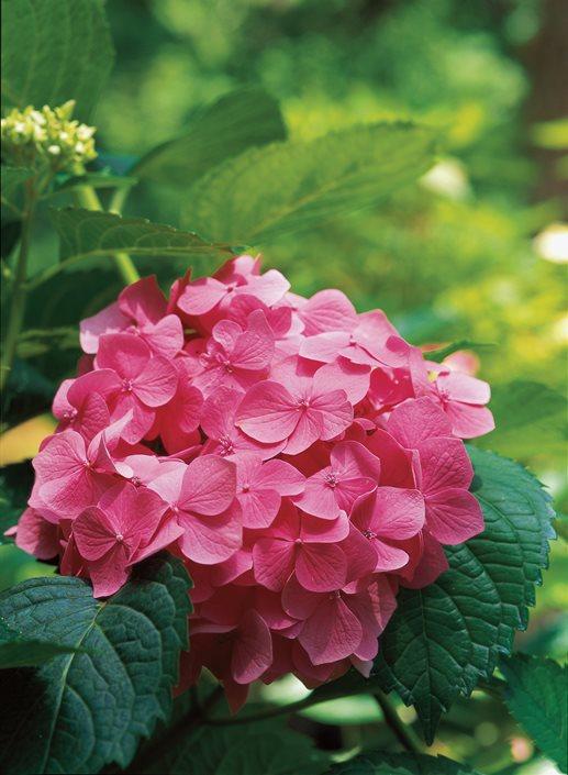 Hydrangea care how to grow hydrangeas garden design - Caring hydrangea garden ...