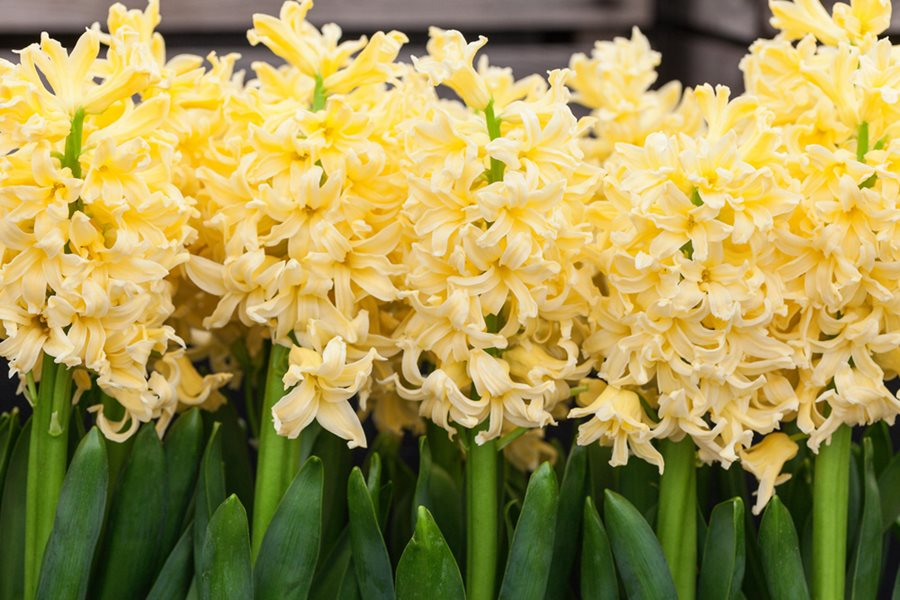 Hyacinths - Growing and Care of Hyacinth Flowers | Garden Design