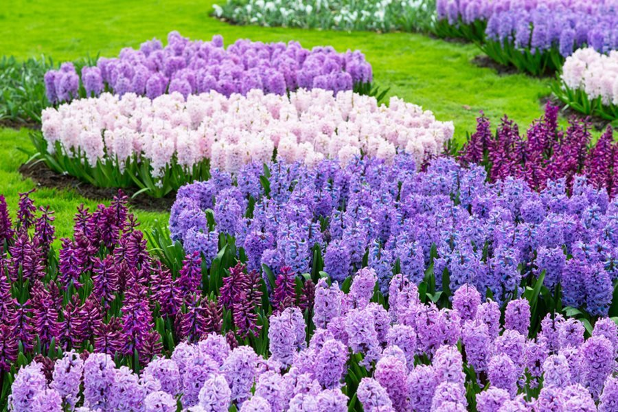Hyacinths growing and care of hyacinth flowers garden design hyacinth purple flower garden shutterstock new york ny mightylinksfo