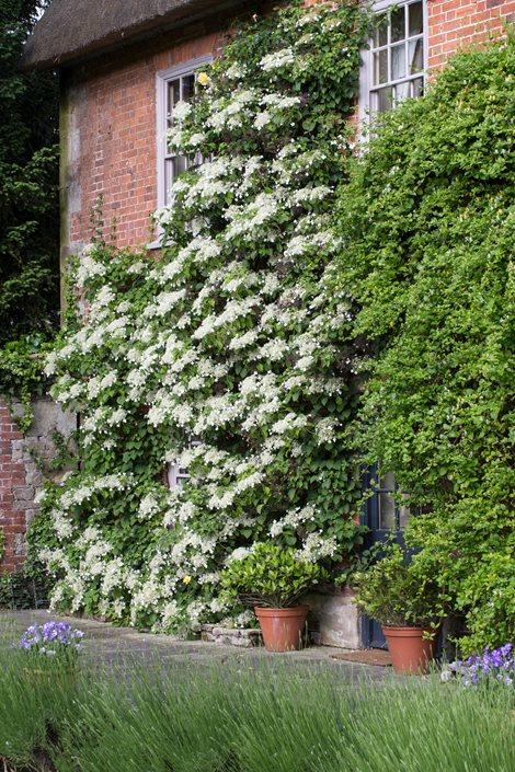 Hydrangea Anomala Petiolaris Climbing Hydrangea Alamy Stock Photo