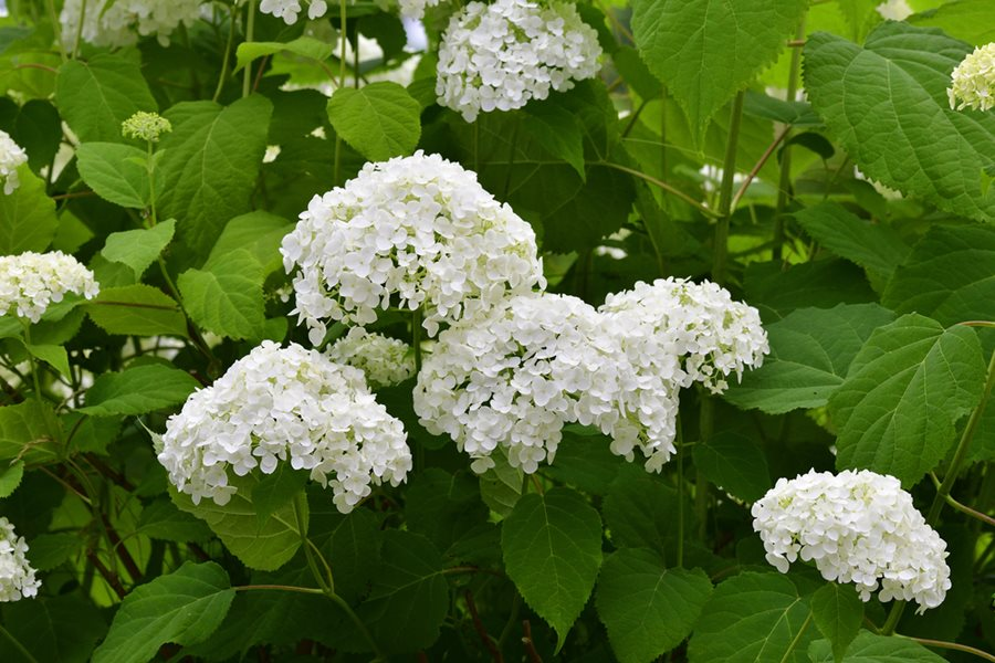 Types of hydrangeas compare 6 hydrangea species garden design hydrangea arborescens annabelle white flower shutterstock new york ny mightylinksfo