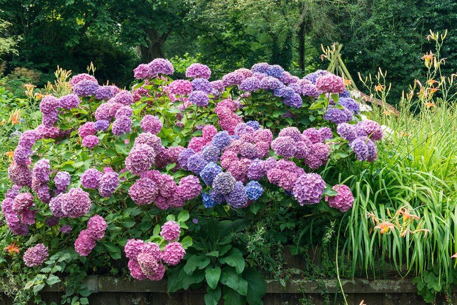 Hydrangea Color Pink Purple Blue Alamy Stock Photo Brooklyn Ny