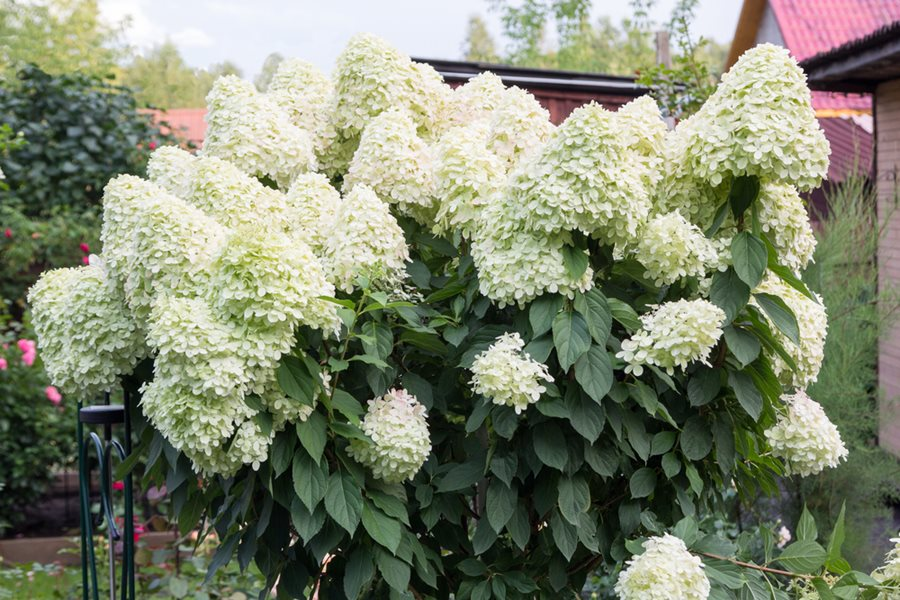 Types Of Hydrangeas Compare 6 Popular Hydrangea Species Garden