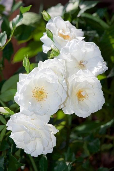 How to grow climbing roses in your garden garden design iceberg rose white flower climbing rose shutterstock new york ny mightylinksfo