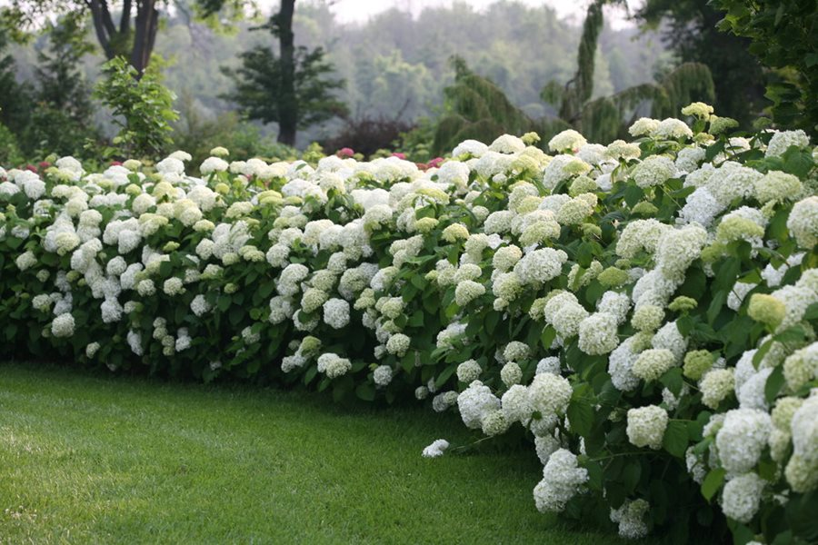 Grow Care For Hydrangea Flowers