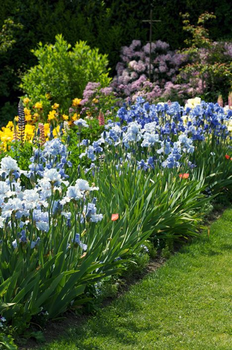 Growing Irises Planting Amp Caring For Iris Flowers