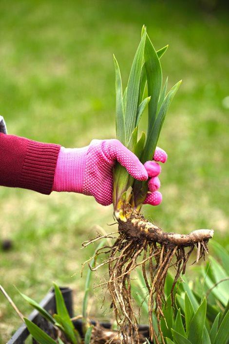 Growing Irises Planting Amp Caring For Iris Flowers
