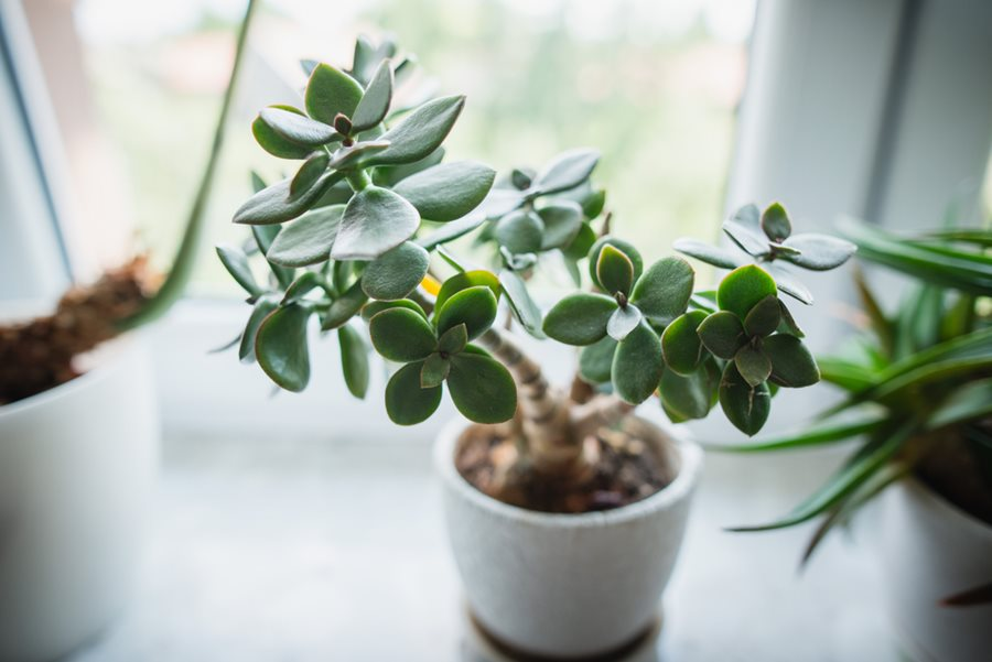 Jade Plant: How to Grow and Care for Jade Plants | Garden Design