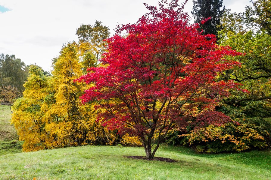mature red maple