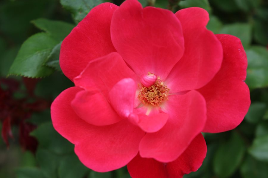 Knock Out Roses Care, Planting & Pruning | Garden Design