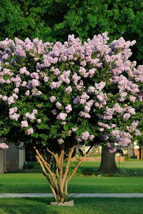 Crape Myrtle Trees - Growing and Care
