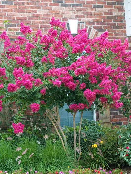 Crape Myrtle Trees Growing And Care Garden Design