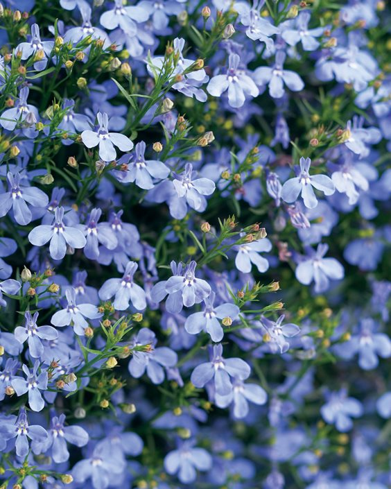 Lobelia How To Plant Grow And Care For Lobelia Plants Garden Design