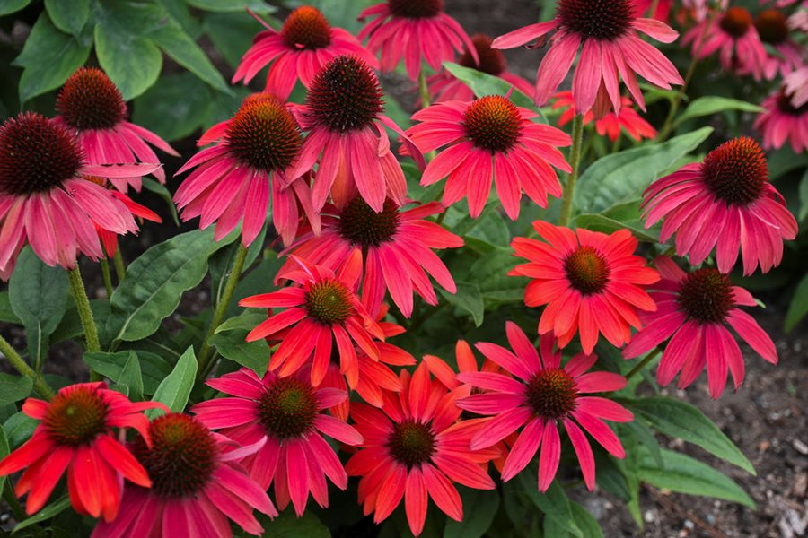 Some Of Where Can I Buy Coneflower Seeds