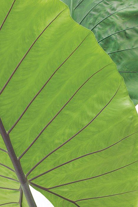 Alocasia Elephant Ear Green Plant