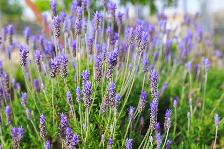 growing lavender planting caring for lavender plants garden design. Black Bedroom Furniture Sets. Home Design Ideas