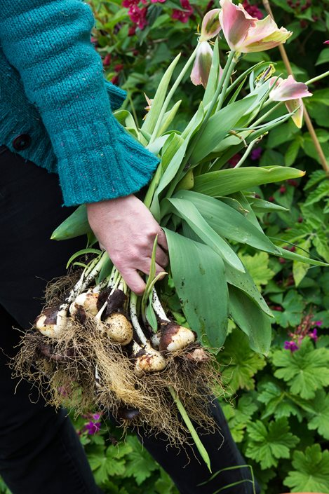 Tulips Planting Caring For Tulip Flower Bulbs Garden Design