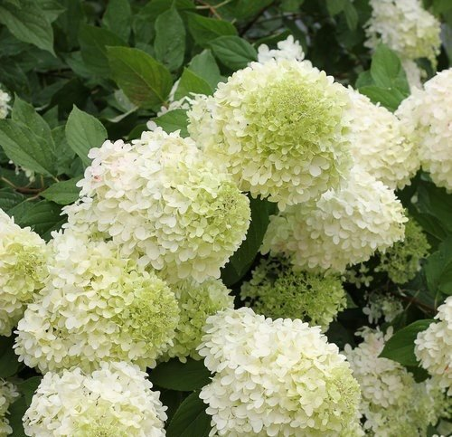 Hydrangeas How To Grow Care For Hydrangea Flowers Garden Design