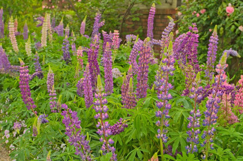 Growing Lupine Flowers Planting Caring For Lupinus Garden Design