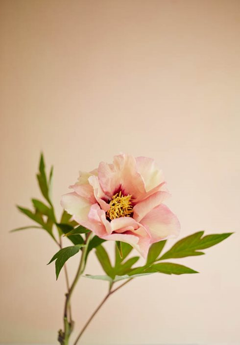 growing peonies how to plant care for peony flowers garden design