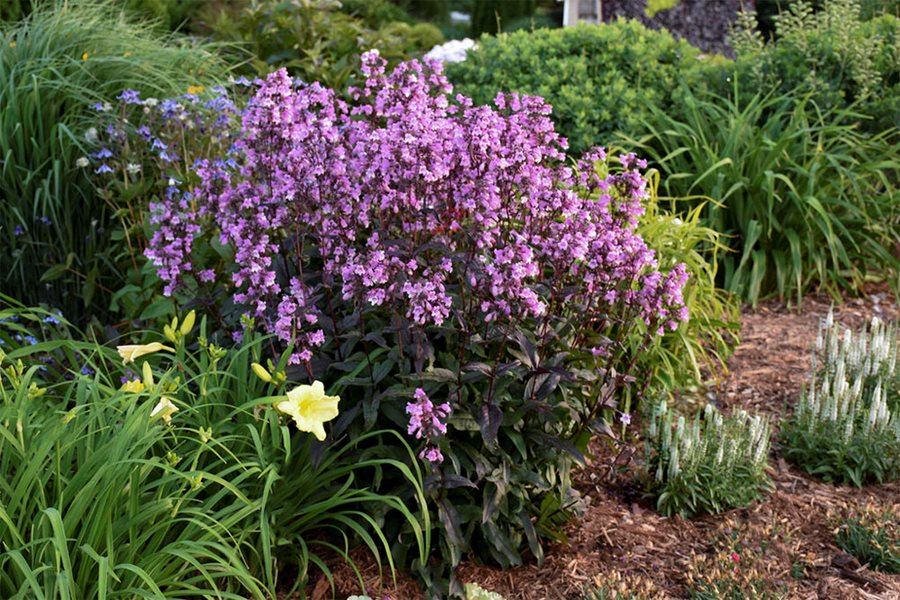 Penstemon How To Grow And Care For Beardtongue Plants Garden