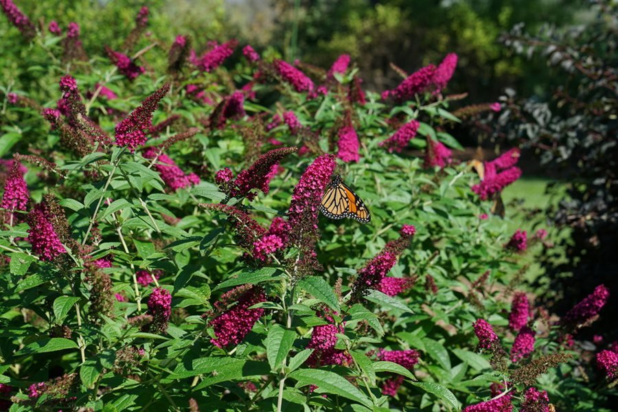 How To Plant Grow Prune Non Invasive Butterfly Bushes Garden Design
