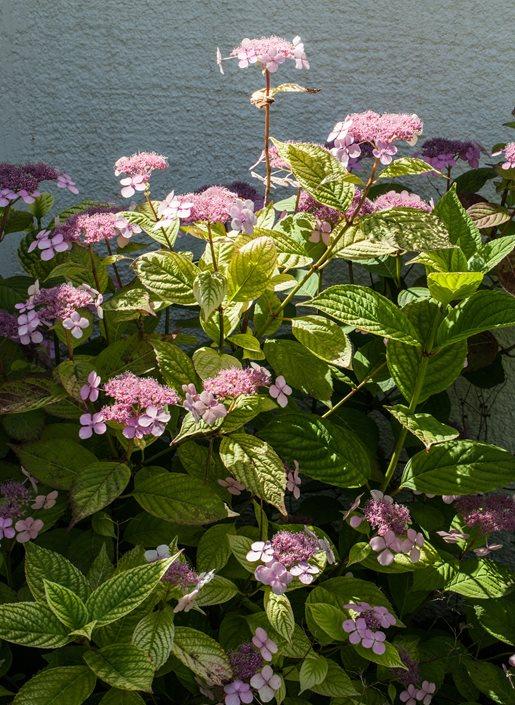 Types of Hydrangeas - Compare 6 Popular Hydrangea Species