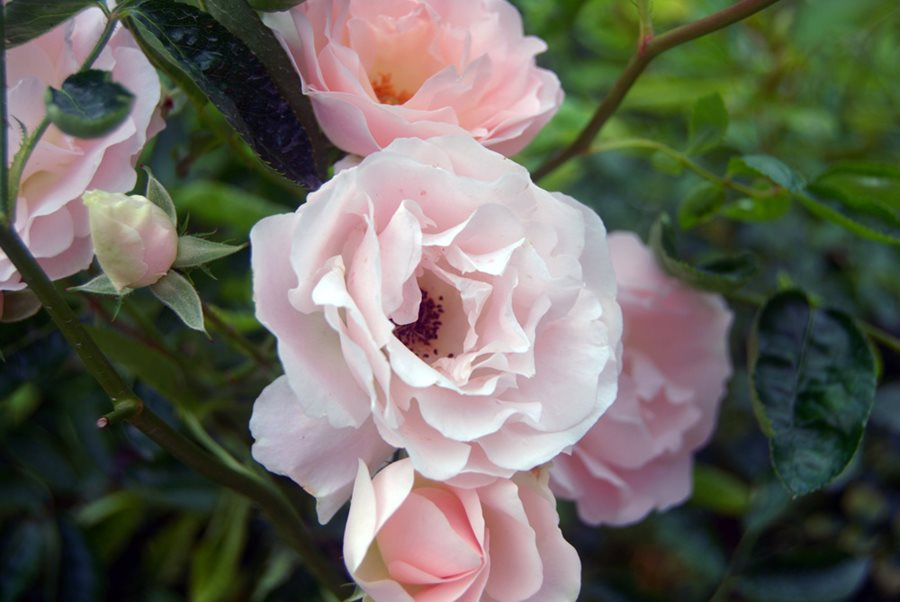 Roses In Garden: How To Grow Climbing Roses In Your Garden