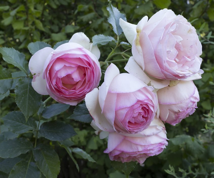 How To Grow Climbing Roses In Your Garden Garden Design