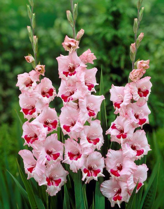 Gladiolus Flowers Planting Growing Caring For Glads Garden Design