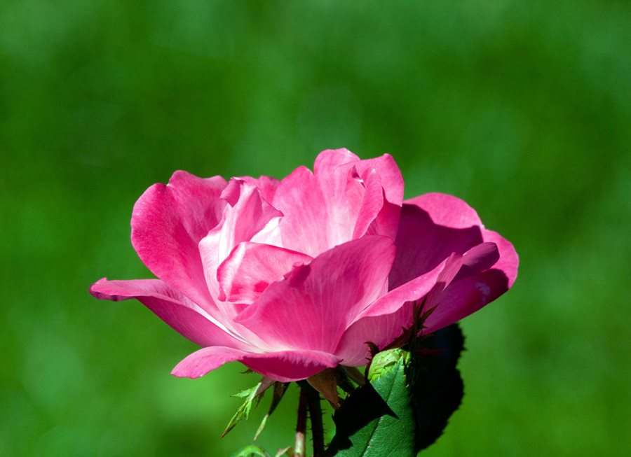 Roses In Garden: Knock Out Roses Care, Planting & Pruning