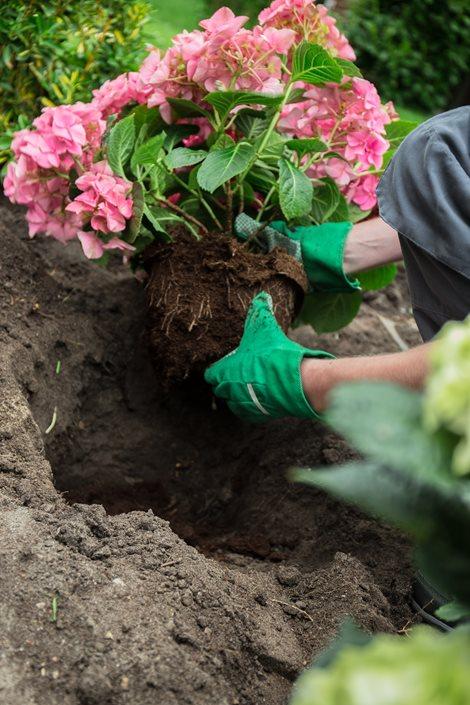 planting hydrangeas pink hydrangea new york ny