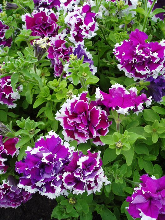 Petunias A Guide To Petunia Care Garden Design