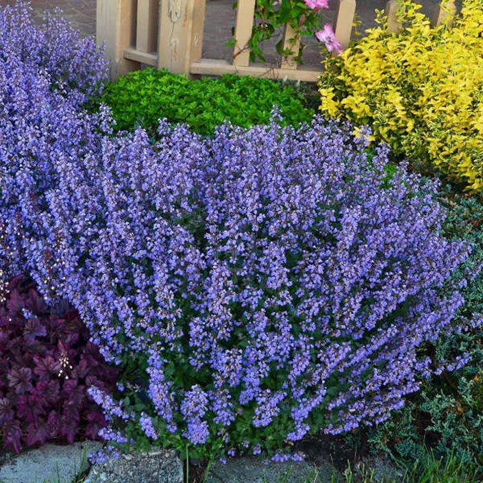 Catmint How To Grow Care For Nepeta Garden Design