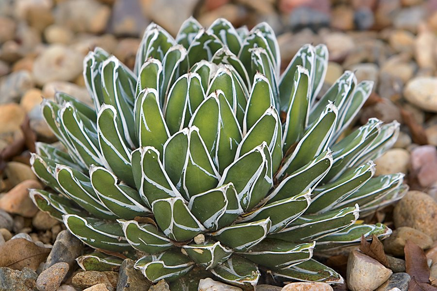 Agave Plant Care Best Varieties To Grow Garden Design