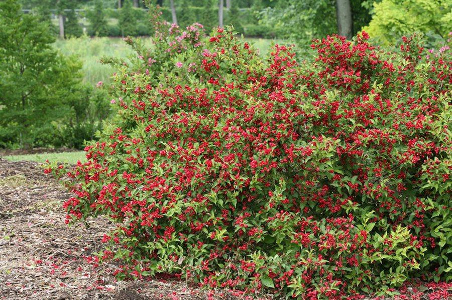 Weigela How To Grow Care For A Weigela Bush Garden Design