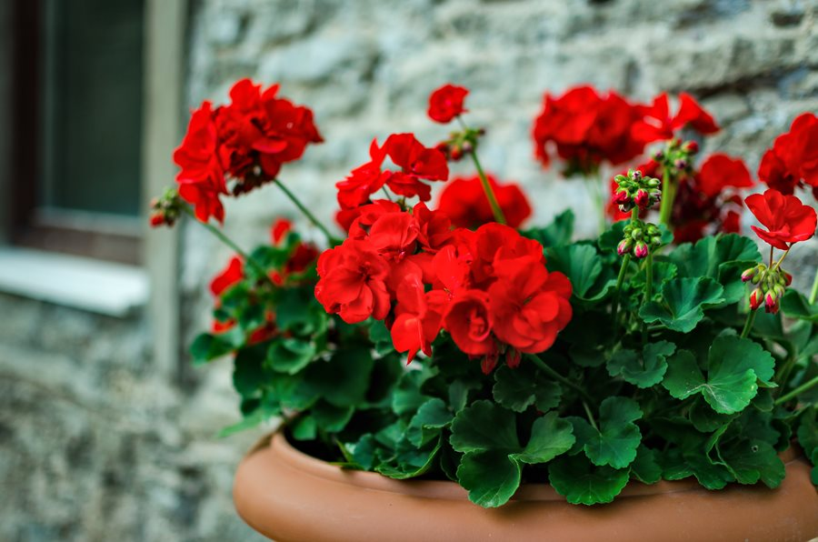 Red Geranium Potted Plant Flower Pelargonium Shutterstock New York